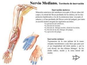 El nervio mediano tiene su origen en el plexo braquial, una estructura estrechamente relacionada con las cervicales.